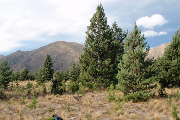 Lodgepole, Austrian, pine, New Zealand