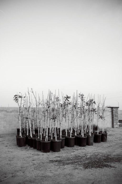 Trees planting, Casa Grande