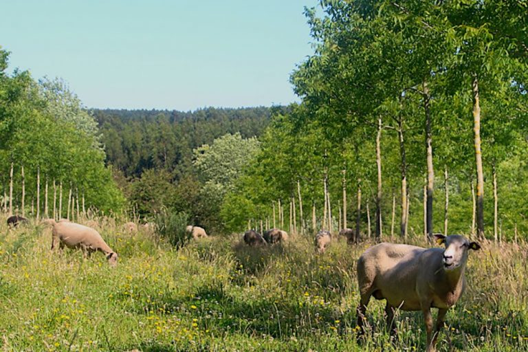 agroforestry, Bosques Naturales, sheep