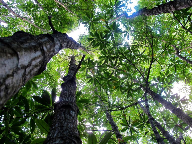 Mangrove trees, carbon sequestering