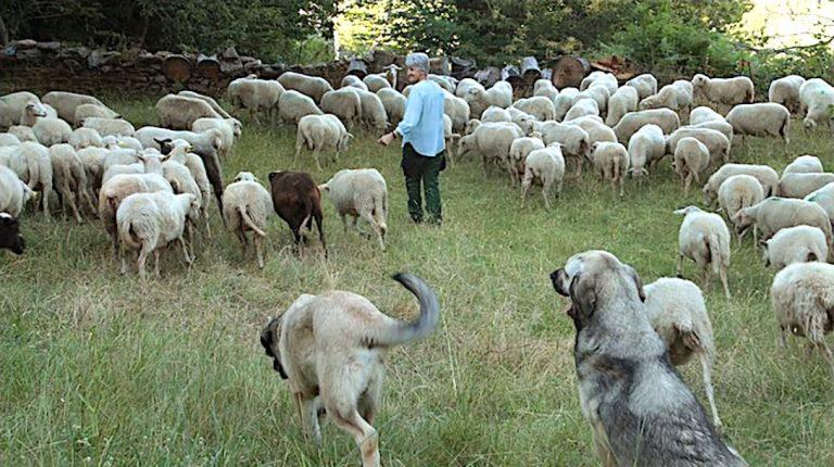 ieves Fernández Vidueira, sheep, Spain