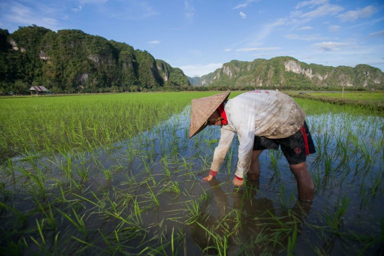 planting, rice, Indonesia