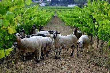 Sheep grazing, vineyards, Catalonia