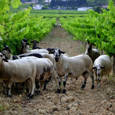 Spanish Farmers Fight Forest Fires With Agroforestry (and Many Sheep)