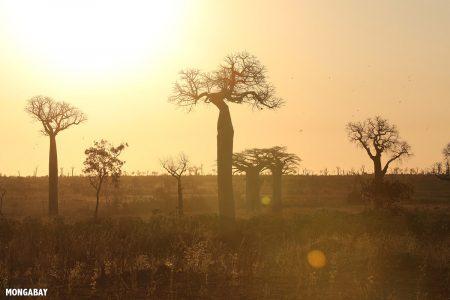 Baobab Trees, Western Madagascar